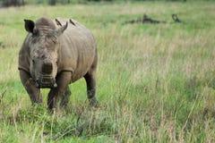 Rhinocéros avec le klaxon découpé Photo stock
