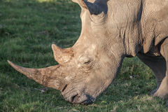Rhinocéros avec le long klaxon mangeant l'herbe Photo stock
