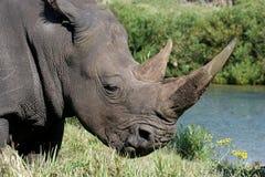 Rhinocéros blanc Photographie stock