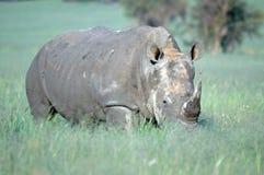 Rhinocéros blanc. Photo stock