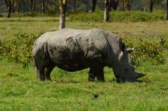 Rhinocéros blanc Image stock