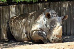 Rhinocéros blanc Photos stock