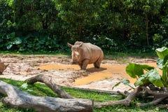 Rhinocéros blanc africain Photos libres de droits