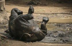 Rhinocéros blanc africain en parc Photo libre de droits