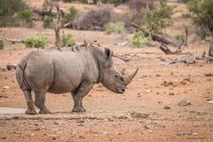 Rhinocéros blanc avec un bon nombre d'oxpeckers Rouge-affichés sur le sien de retour photo stock