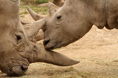 Rhinocéros blanc Battle13 Images stock