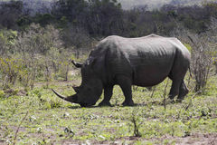 Rhinocéros blanc complet Photographie stock