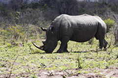 Rhinocéros blanc complet Images libres de droits