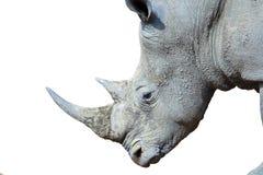 Rhinocéros blanc d'isolement Photographie stock