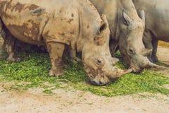 Rhinocéros blanc dans la belle nature Animaux sauvages en captivité Préhistorique et espèce menacée dans le zoo Photos stock
