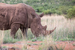 Rhinocéros blanc dans la boue Image stock
