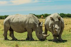 Rhinocéros blanc dans le Nxai Pan Park, Botswana, Afrique photos stock