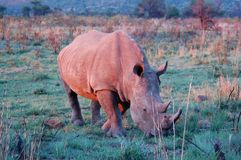 Rhinocéros blanc dans le rose Photo libre de droits