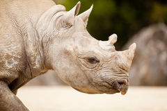 Rhinocéros blanc de Deux-Klaxon (simum de Ceratotherium) Images libres de droits