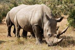 Rhinocéros blanc de Mara de masai Photographie stock libre de droits