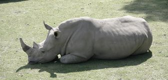 Rhinocéros blanc de repos photo stock