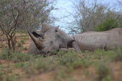 Rhinocéros blanc dormant dans l'après-midi Images libres de droits