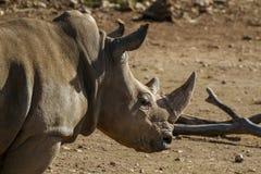 Rhinocéros blanc du sud Photographie stock libre de droits