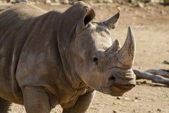 Rhinocéros blanc du sud Image stock