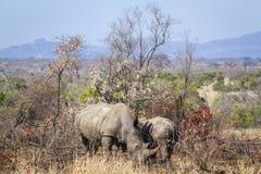 Rhinocéros blanc du sud en parc national de Kruger, Afrique du Sud photos libres de droits
