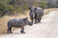 Rhinocéros blanc du sud en parc national de Kruger, Afrique du Sud photo stock
