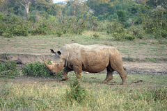 Rhinocéros blanc en parc national de Kruger image stock