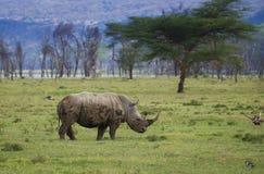 Rhinocéros blanc en parc national de Nakuru de lac photos stock