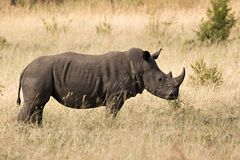 Rhinocéros blanc en stationnement de kruger Photographie stock