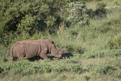 Rhinocéros blanc errant Free Images stock