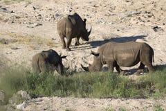 Rhinocéros blanc errant Free Image libre de droits