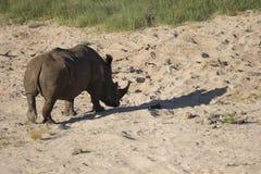 Rhinocéros blanc errant Free Photos stock