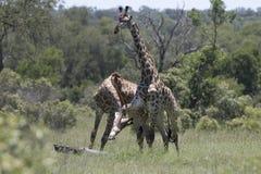 Rhinocéros blanc errant Free Images libres de droits