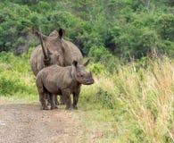 Rhinocéros blanc et bébé Photographie stock