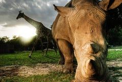 Rhinocéros blanc et girafe Image libre de droits