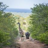 Rhinocéros blanc et girafe du sud en parc national de Kruger, Afrique du Sud image libre de droits