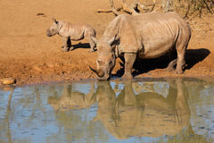 Rhinocéros blanc et veau photo stock