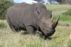 Rhinocéros blanc fâché Photo stock