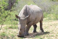 Rhinocéros blanc faisant face en avant Photographie stock libre de droits