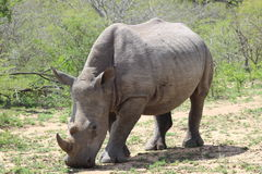 Rhinocéros blanc faisant face en avant Images stock