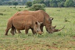 Rhinocéros blanc frôlant avec le veau photo stock
