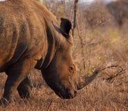 Rhinocéros blanc mâle avec le grand klaxon Photographie stock libre de droits