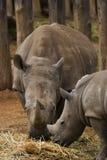 Rhinocéros blanc - mère et chéri Images libres de droits