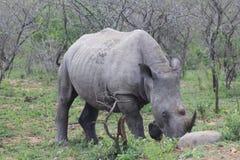 Rhinocéros blanc marchant le long Image stock