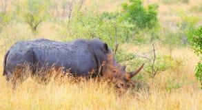 Rhinocéros blanc, parc national de Kruger, Afrique du Sud Images libres de droits