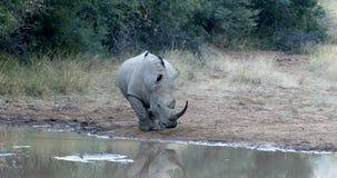 Rhinocéros blanc Pilanesberg, faune de safari de l'Afrique du Sud banque de vidéos
