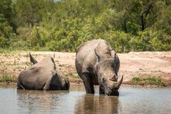 Rhinocéros blanc potable en parc national de Kruger, Afrique du Sud image libre de droits