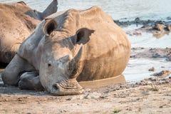 Rhinocéros blanc s'étendant dans la boue photo libre de droits