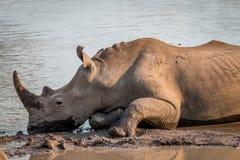 Rhinocéros blanc s'étendant dans la boue photographie stock libre de droits