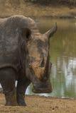 Rhinocéros blanc (simum de Ceratotherium) Photographie stock