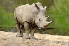 Rhinocéros blanc, simum de Ceratotherium, avec le grand klaxon, l'Afrique Image libre de droits